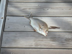 Fish on dock