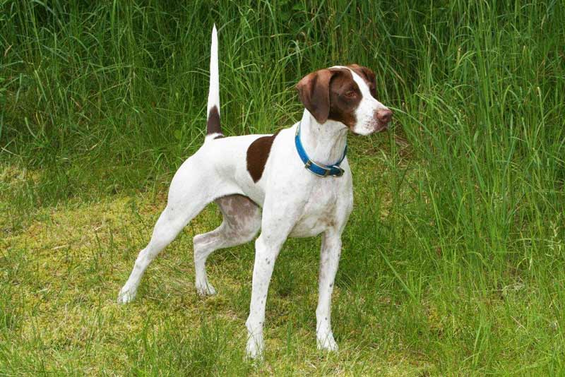 Dogs Hope Pointer Rescue