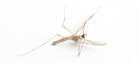 mosquito overreaction