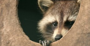 racoon choosing wide over narrow