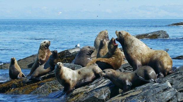 seals fighting