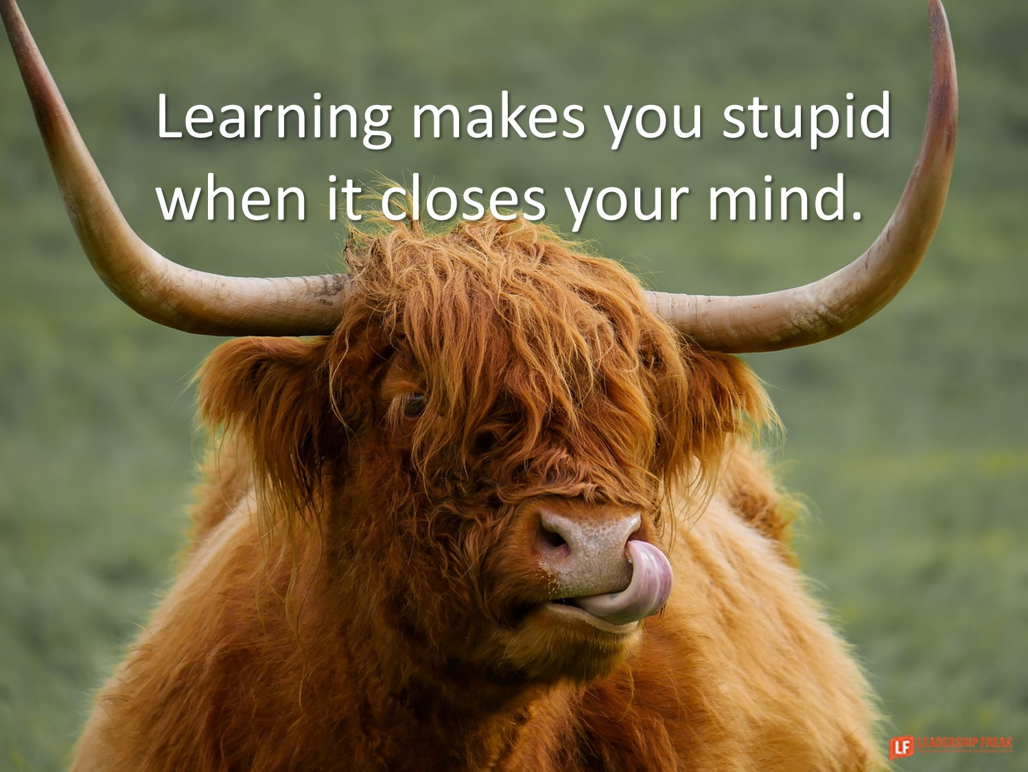 High Land Cow  Learning makes you stupid when it closes your mind.